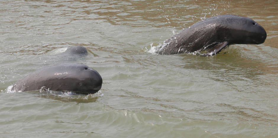 Indo-Pacific Finless Porpoise :: OPCFHK