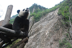 giant panda and wildlife conservation essay The giant panda global awards are organized by wwwgiantpandaglobalcom, to promote the important panda conservation work in china and abroad panda fans from around.