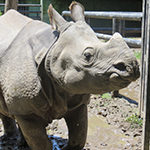 Greater One-horned Rhino (Indian Rhinoceros)